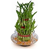 Abana Homes - 3 Layer Lucky Bamboo Plant Indoor with Pot - Live Bamboo Plant in Big Glass Bowl - Great Home/Office Decor