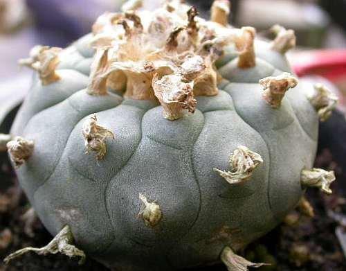 Exotic Plants Lophophora williamsii v San Pablo Nuevo Leon - Peyotl - cactus San Pedro - 10 graines