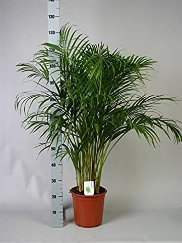 Areca Palm Tree. Butterfly Palm. Dypsis Lutescens 120cm tall in 24cm Pot