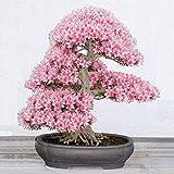 Yukio Samenhaus - selten 10 Korn Japanische Blütenkirsche Sakura-Samen winterhart Bonsai Samen Kirschblüte Hof Topfpflanze(Reich am Stamm blühender Freiland-Bonsai) (Rosa)