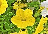 Petunie Gelbe 15 Samen - Helle Farbe, Kaskadierung, lange blühen