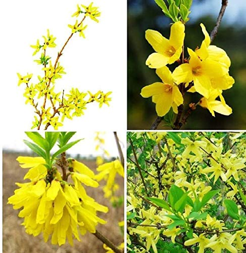 Portal Cool 20 Semi Forsythia Seeds Forsythia Suspensa Fructus Forsythiae Erbe Biologiche A