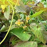 Elfenblume 'Orangekönigin' - Epimedium warleyense 'Orangekönigin' - zierlich orange blühender Bodendecker für den schattigen Bereich