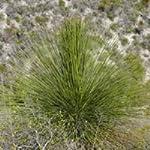 Dasylirion longissimum seeds
