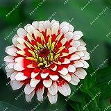 IDEA HIGH Seeds-ZLKING 200 teile/beutel Bunte Zinnia Seltene Blume Mehrjährige Blume Sementes Bonsai Topf Home Gardeing: 3
