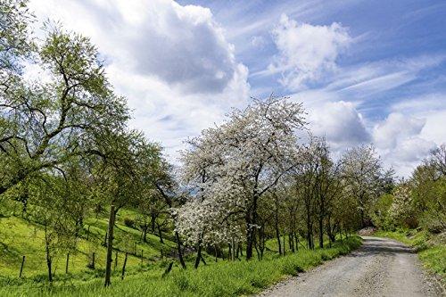 artland-wandbild-auf-alu-verbundplatte-heinrich-wilhelm-bluhende-kirschbaume-im-fruhling-landschafte