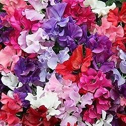 Portal Cool Blumensamen Wicken Spencer Mix Garten Innenhof EU-Standard