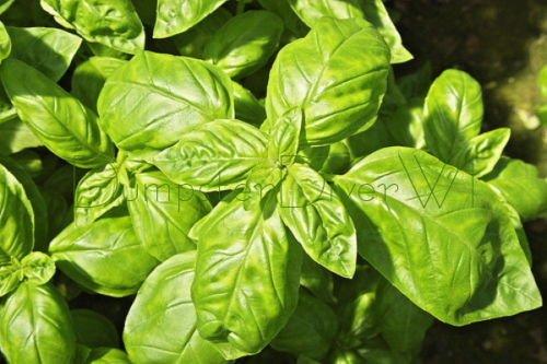 BIO Basilic italien Heirloom 150+ classique graines fines herbes grandes leavs non-OGM