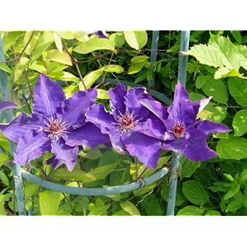 Clematis Samen Mix ***Blaue, Violette und Weise Blüten*** 10 Samen ...