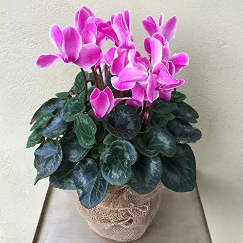 MOCRIS Alpenveilchen Samen Bonsai Garten Balkon Begrünung Design Begrünung Pflanzen Bonsai Topfpflanzen