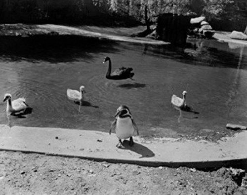Washington Dc Zoo (USA Washington D.C. Rock Creek Park National Zoo penguin black swan and cygnets Poster Drucken (45,72 x 60,96 cm))