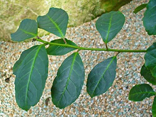 Asklepios-seeds® - 50 Semillas de ilex paraguariensis Yerba mate, yerba de los jesuitas, yerba del Paraguay, té de los jesuitas, té paraguayo