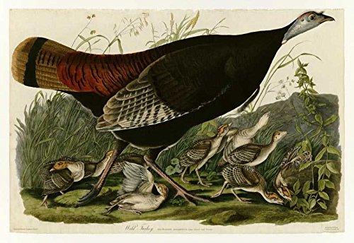 Das Museum Outlet-Art Postkarte-Audubon (- Wild Turkey-Platte 6-Set 12Stück Postkarten - 6 Stück Akzent Möbel