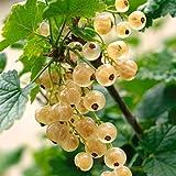 Dominik Blumen und Pflanzen, Johannisbeer-Stämmchen Weiße Versailler® weiß, 1 Pflanze
