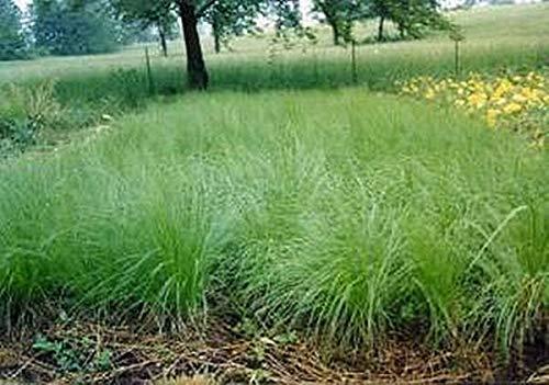 Pase Seeds Ornamental Grass Seed - Sporobolus Heterolepis Prairie Dropseed Seeds