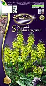 Muscari Golden Fragrance Muscari Golden Fragrance 5 St. 15 cm