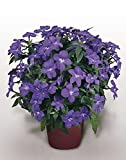 Blumensamen Amethyst Blume Jahres
