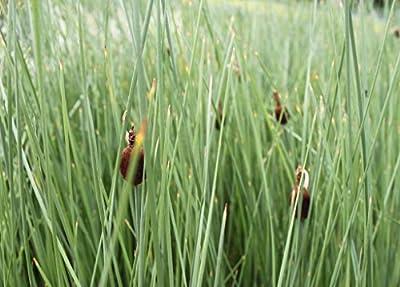 Wasserpflanzen Wolff - Typha minima - Zwergrohrkolben von Wasserpflanzen Wolff bei Du und dein Garten