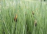 Wasserpflanzen Wolff - Typha minima - Zwergrohrkolben