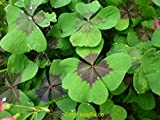 Glücksklee Iron Cross Oxalis deppei (50 Blumenzwiebeln)