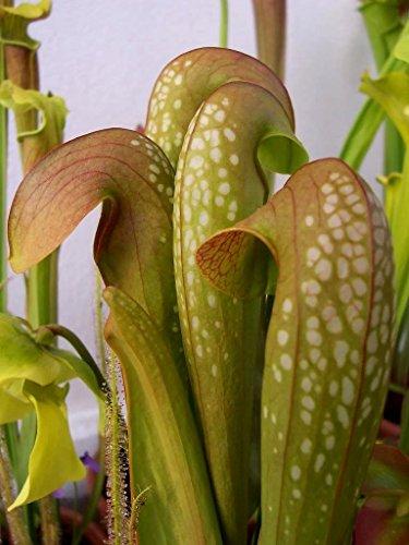 Portal Cool Samen Paket: 10 Hooded Pitcher Plant Sarracenia Minor Flch fressende nsamen Comb S/H -