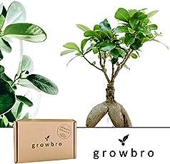 Bonsai | growbro | Ficus Ginseng Bonsai | Anzuchtset | ideales Geschenk Bonsaibaum für Frauen und Männer, Geschenkset inkl. Bonsai Samen, Schere, Sprühflasche, Erde, uvm.