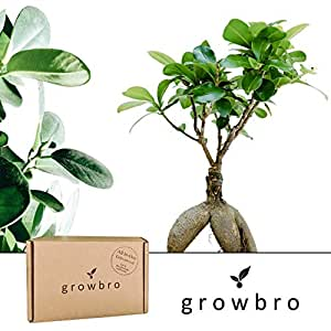 bonsai growbro ficus ginseng bonsai anzuchtset ideales geschenk bonsaibaum f r frauen. Black Bedroom Furniture Sets. Home Design Ideas