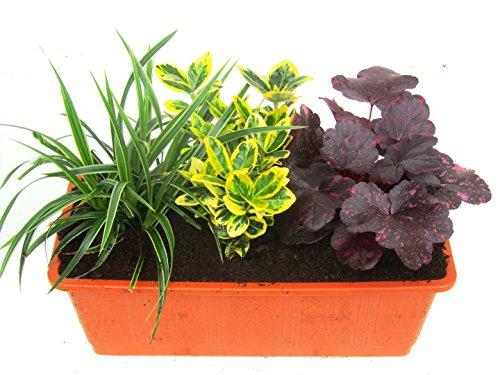 Immergrünes Balkonpflanzen-Set 3 wintergrüne Pflanzen für 40-50 cm Balkonkästen