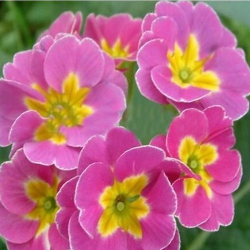 free-shipping-polyantha-victorian-laced-primula-primrose-mix-flower-pacific-giants-bml-brand-polyant