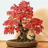 Rojo Arce - Acer Rubrum - 1 Paquete de 25 semillas - Decorativa árbol - Bonsái