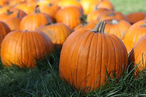 25+ Samen von Jack O Lantern Kürbis SEEDS amerikanische Erbstück Rasse für Halloween-Schnitzen