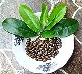 SONIRY Frische 60 Seeds Soursop Guanabana sät freies Verschiffen