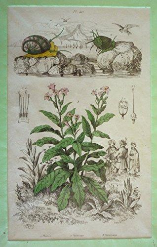 Gravure : Nérite, Néritine, Nicotiane (Dictionnaire pittoresque d'histoire naturelle et des phénomènes de la nature) par Guérin-Menneville Félix Edouard
