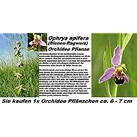 1x bienen-ragwurz (Ophrys apifera) Orquídea Planta Centro de atención RARO Plantas Habitación orquídeas Fresco 1a