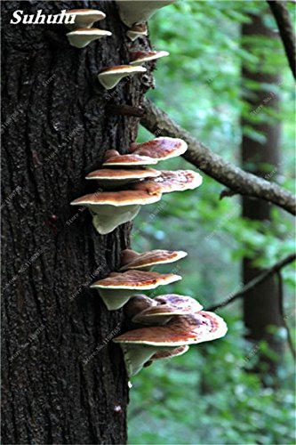 Galleria fotografica 100 Pz Ganoderma Lucidum Semi Reishi funghi sementi biologiche Vegetable Seeds facile da coltivare Per la casa Giardino Diy 22