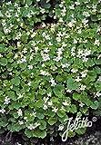 Cymbalaria pallida 'Albiflora' - 3 Pflanzen im 0,5 lt. Vierecktopf