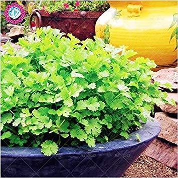 50Pcs / calientes bolsa de hierba cilantro perejil maceta semillas verdes Healthiy hierba de alto rendimiento vegetal fructífero jardín Bonsai plantas de especias