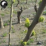 SEMI PLAT FIRM-Buy Morus Alba Albero semi 100pcs piante foglio del gelso baco da seta per alimentare Sang Shu