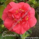 Kamelie 'Emma' - Camellia japonica, Grupo de precio:4