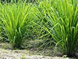 #7: Plant House Live Tea Grass - Lemon Grass Herbal Plant with POT