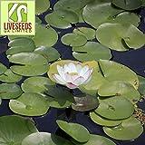 Liveseeds - Mini rosa de la mañana Bonsai Lotus/Flor de Nenúfar/5 Semillas Frescas