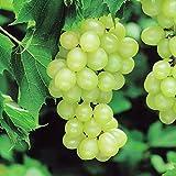 Vigne Pinot blanc - 1 arbrisseau