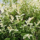 Harlekin Weide - Salix integra 'Hakuro Nishiki' - Harlekinweide Zierweide