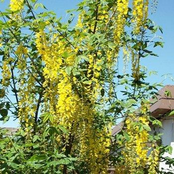 Edel-Goldregen 'Vossii' - Laburnum watereri 'Vossii' 100-150 cm, von Gartengruen24 - Du und dein Garten