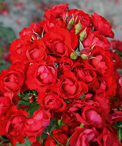 'Black Forest Rose' -R-, Beetrose, ADR-Rose, A-Qualität Wurzelware