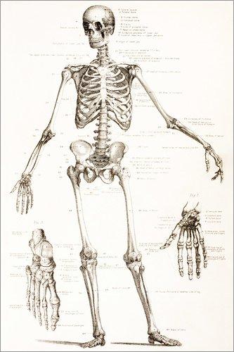 Poster 100 x 150 cm: Das menschliche Skelett von Ken Welsh/Design Pics - Hochwertiger Kunstdruck, Kunstposter
