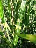 Chinagras Zebragras Miscanthus sinensis Zebrinus im 5 Liter Pflanzcontainer