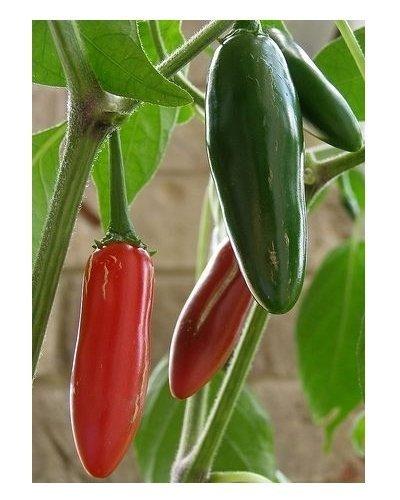 Chili Pfeffer Serrano Tampiqueno - Pepper - 50 Samen