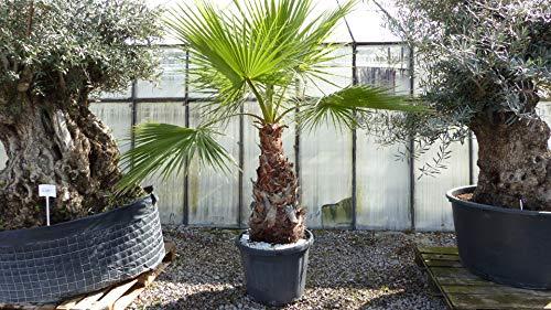genau diese Palme: 240 cm Washingtonia Robusta Palme im Pflanzkübel