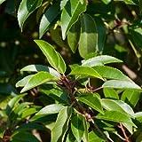 Kirschlorbeer Prunus lusitanica 'Angustifolia' 40/60cm